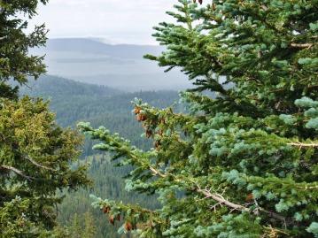 Pine Trees & Cones